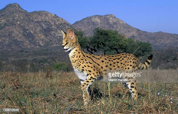 SERVAL: BEAUTIFUL SPOTTED AND BARRED COAT. FELIS SERVAL. SUB-SAHARAN AFRICA, SOUTH AFRICA.