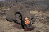 POACHED RHINOCEROS. SOUTH AFRICA. BLOOD