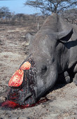 WHITE RHINOCEROS KILLED BY POACHER FOR HORNS. CERATOTHERIUM SIMUM. SOUTH AFRICA.