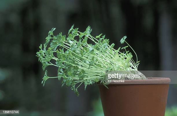 PHOTOTROPISM. PARSLEY PLANT BENDING IN RESPONSE TO DIRECTION OF LIGHT.