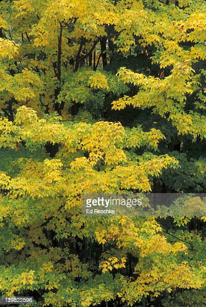 FALL COLORS. SUGAR MAPLE. ACER SACCHARUM. LEAVES CAN TURN DEEP RED, ORANGE, OR YELLOW IN AUTUMN, MICHIGAN.