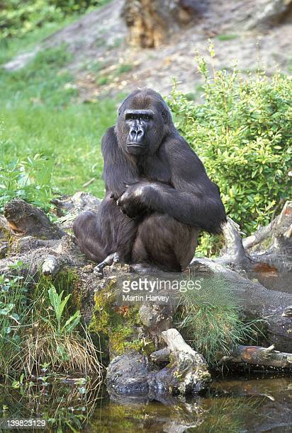 WESTERN LOWLAND GORILLA. GORILLA GORILLA GORILLA. FEMALE SITTING BY WATER. ENDANGERED. TROPICAL RAINFOREST. WESTERN CENTRAL AFRICA.