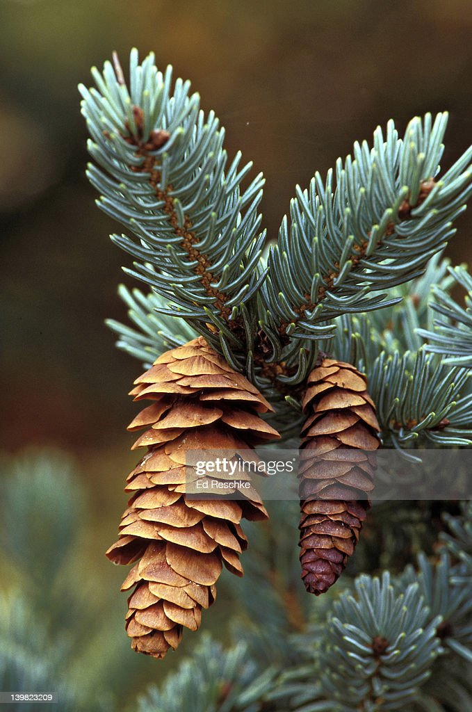 Decorative Blue Spruce : Blue spruce with cones picea pungens widely used as an