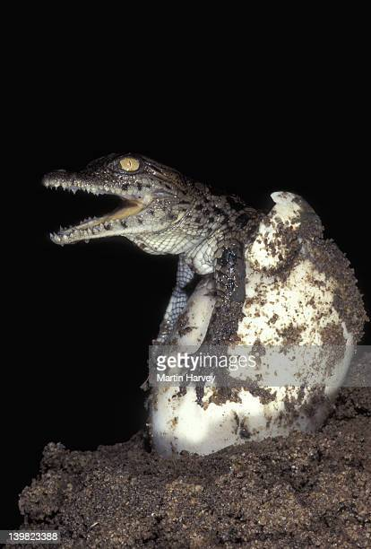 NILE CROCODILE, CROCODYLUS NILOTICUS, HATCHING FROM EGG AFTER A 90-100 DAY INCUBATION. AFRICA.