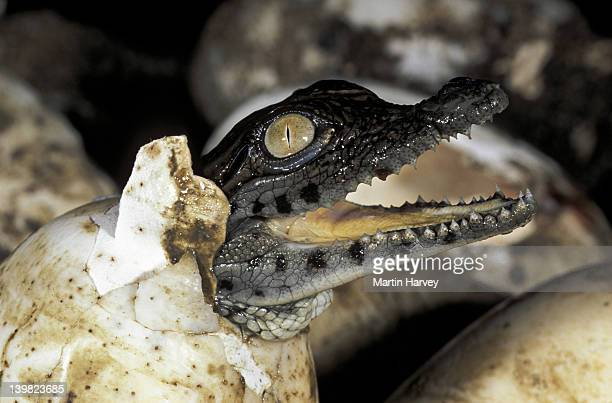NILE CROCODILE HATCHING FROM EGG AFTER A 90-100 DAY INCUBATION. AFRICA. CROCODYLUS NILOTICUS.