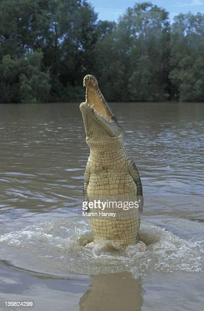 ESTUARINE/SALTWATER CROCODILE EXPLODING OUT OF WATER FOR PROFFERED FOOD. CROCODYLUS POROSUS. ADELAIDE RIVER, AUSTRALIA.