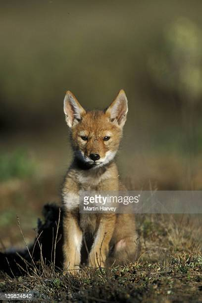 ETHIOPIAN WOLF, CANIS SIMENSIS, ENDANGERED PUP, TWO MONTHS OLD. BALE MOUNTAINS NATIONAL PARK. ETHIOPIA. AFRICA.