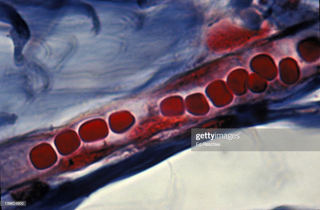 CAPILLARY AND RED BLOOD CELLS (IN SINGLE FILE) SCALP (HUMAN) 500X H : Stock Photo