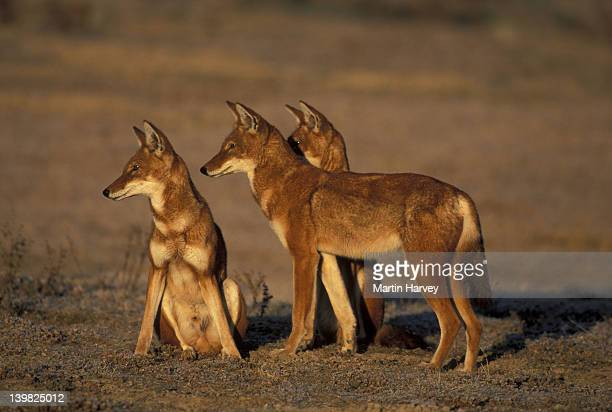 ETHIOPIAN WOLVES, CANIS SIMENSIS. ENDANGERED. ADULTS GREETING AND INTERACTING. BALE MOUNTAINS NATIONAL PARK. ETHIOPIA.