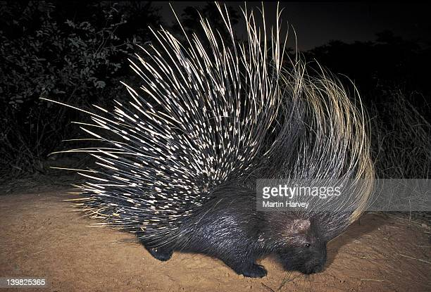 CAPE PORCUPINE (HYSTRIX AFRICAEAUSTRALIS). AFRICA S LARGEST RODENT. NAMIBIA. AFRICA