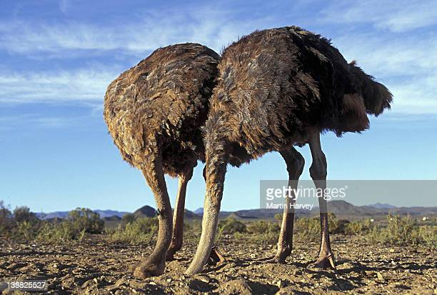 STAGED SCENE OF TWO FEMALE OSTRICHES, STRUTHIO CAMELUS. BURYING HEAD IN SAND. DISTRIBUTED THRU AFRICA TO ARABIA.