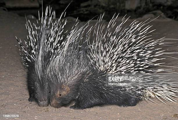 CAPE PORCUPINES. HYSTRIX AFRICAEAUSTRALIS. AFRICA S LARGEST RODENT. NAMIBIA. AFRICA.