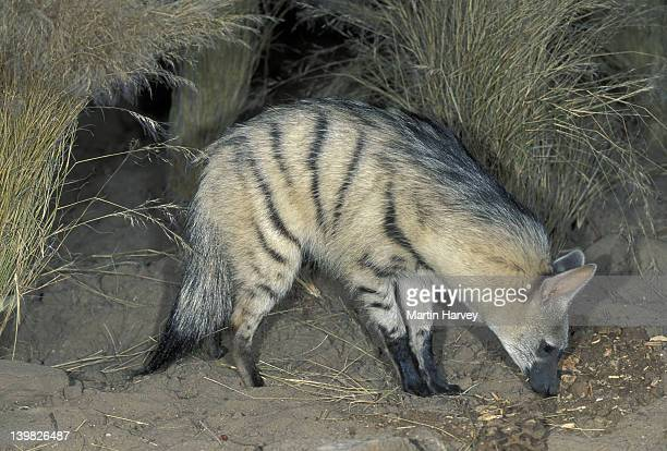 AARDWOLF, PROTELES CRISTATUS. NOCTURNAL PREDATOR OF TERMITES. SOUTHERN AND EAST AFRICA.