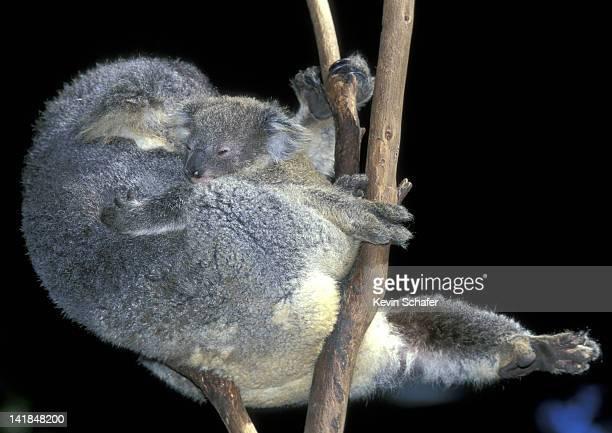 KOALAS. (PHASCOLARCTOS CINEREUS). MOTHER HOLDING YOUNG. BLUE MOUNTAINS. NEW SOUTH WALES AUSTRALIA.