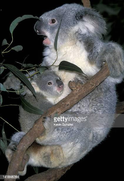 MOTHER KOALA WITH YOUNG. (PHASCOLARCTOS CINEREUS). BLUE MOUNTAINS. NEW SOUTH WALES. AUSTRALIA.