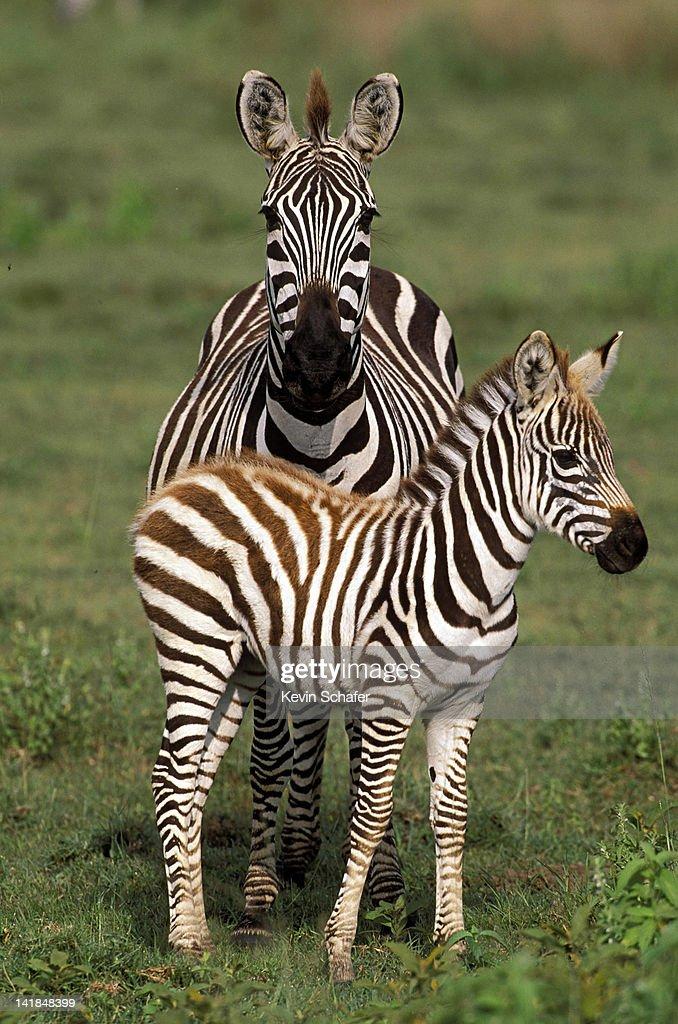 PLAINS ZEBRAS, EQUUS BURCHELLI, MOTHER AND CALF. SERENGETI NP, TANZANIA. AFRICA V