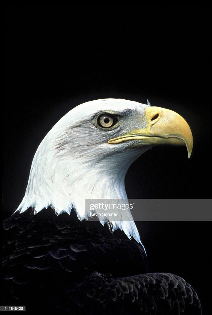 507 BALD EAGLE AK (M) H : Stock Photo