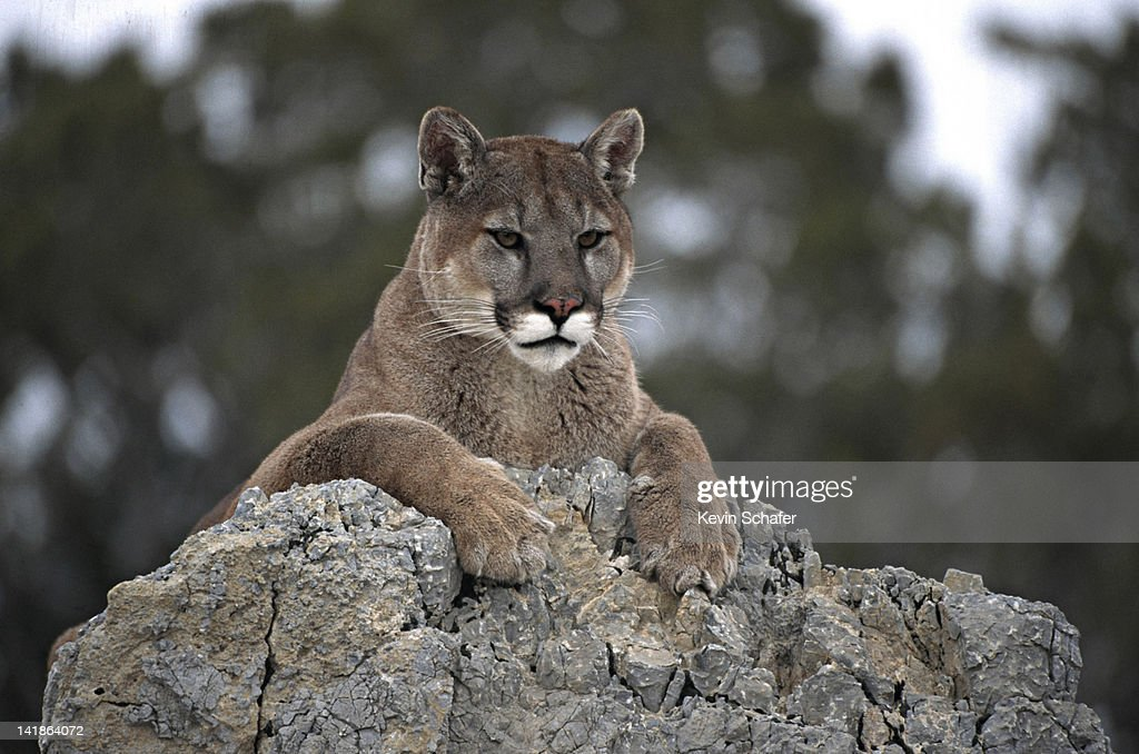 COUGAR, FELIS CONCOLOR, RESTING ON ROCK. UINTA NATIONAL FOREST. UTAH. : Stock Photo
