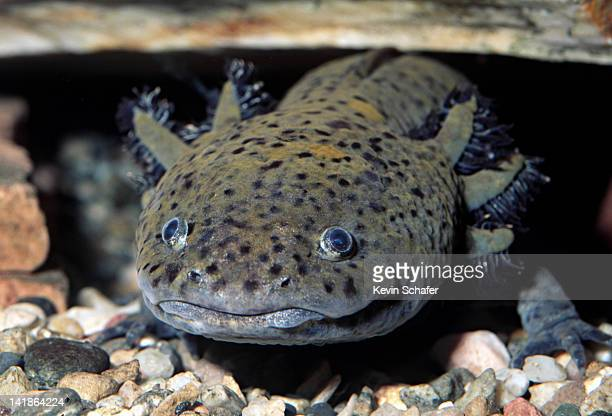 AXOLOTL, AMBYSTOMA MEXICANUM. EXAMPLE OF NEOTENY (SI)