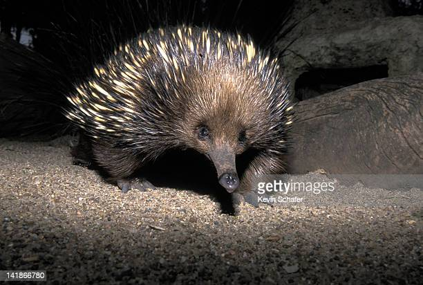 SHORT-BEAKED ECHIDNA (TACHYGLOSSUS ACULEATUS). CAPTIVE. MONOTREME, AUSTRALIA.