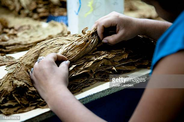 LADY GRADES CIGAR LEAVES IN FACTORY IN NICARAGUA