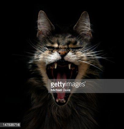 STUDIO SHOT OF CAT ON BLACK BACKGROUND : ストックフォト