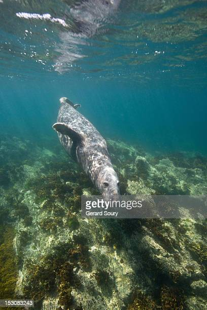 GREY SEAL SWIMMING BELOW THE SURFACE