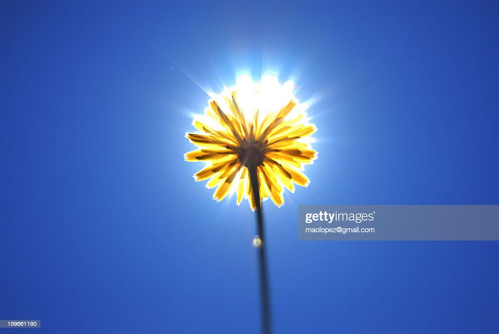 SUN-FLOWER : Stock Photo