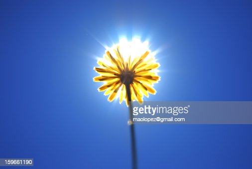 SUN-FLOWER : Stock Photo