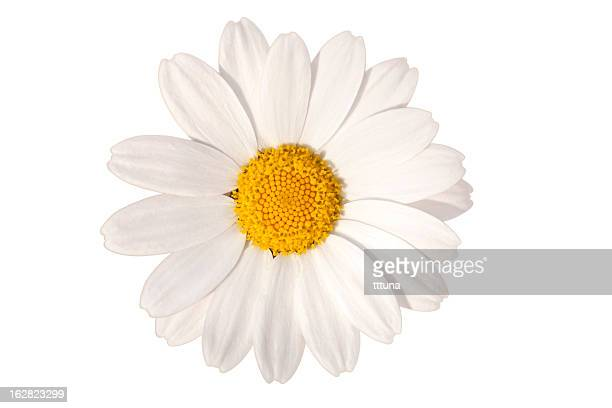 white daisy, spring time flower beauty in nature