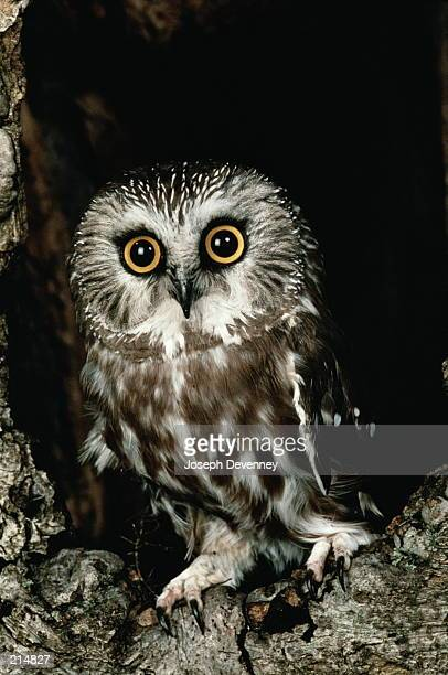 SAW-WHET OWL IN HOLE IN TREE