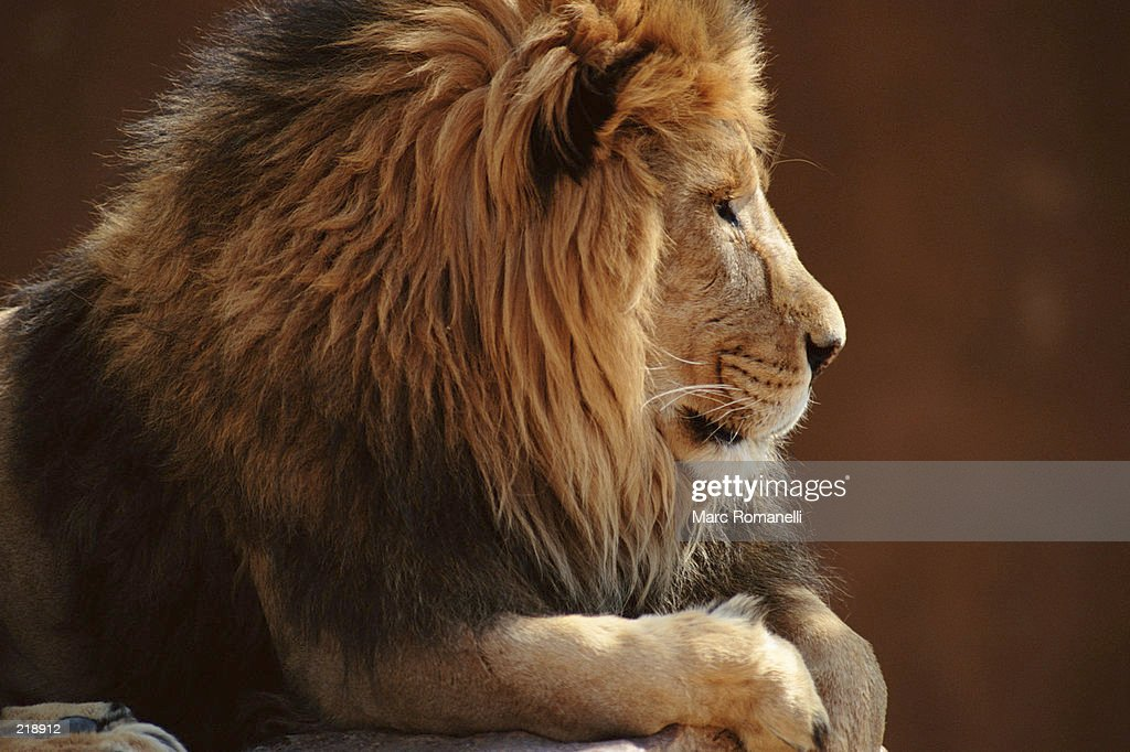 PROFILE OF MALE LION : Stock Photo