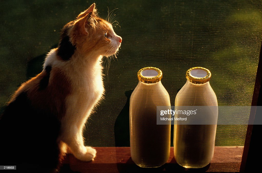 SUNLIT KITTEN & GLASS BOTTLES OF MILK : Stock Photo