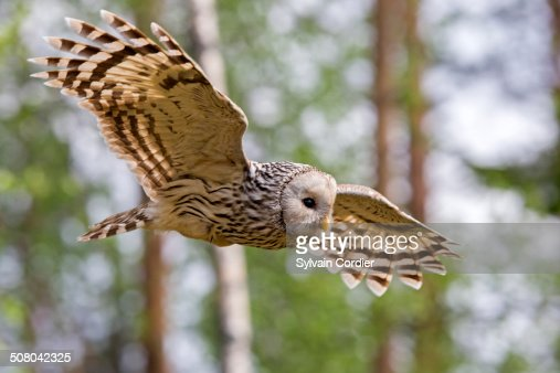 URAL OWL,FEMALE IN FLIGHT