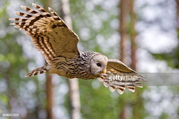 URAL OWL,FEMALE IN FLIGHT