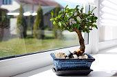 Маленькое дерево бонсай кармона на окне