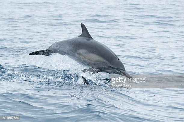 COMMON DOLPHIN PORPOISING IN THE WAKE