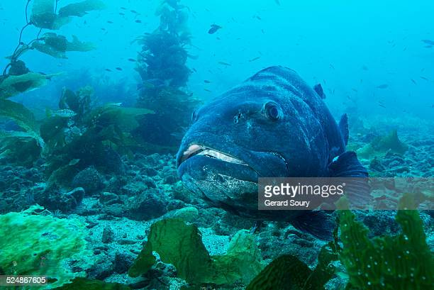 GIANT BLACK SEA BASS IN THE KELPS
