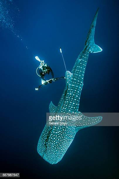 WHALE SHARK TAGGED WITH A SATELLITE TRANSMITTER