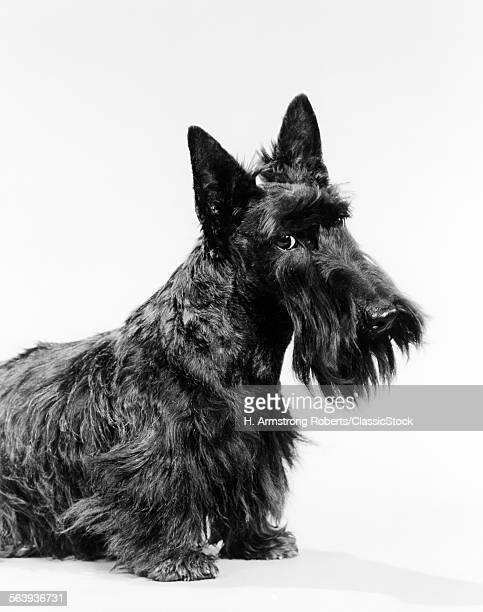 BLACK SCOTTIE SCOTTISH...