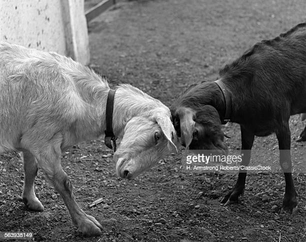 A BLACK & A WHITE GOAT...