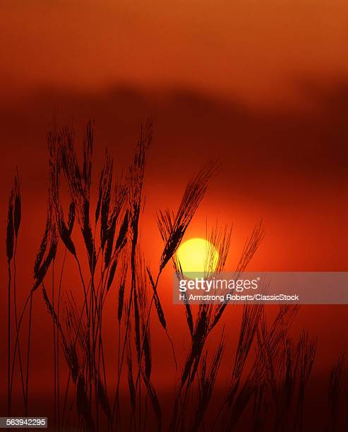 WHEAT STALKS SILHOUETTED...