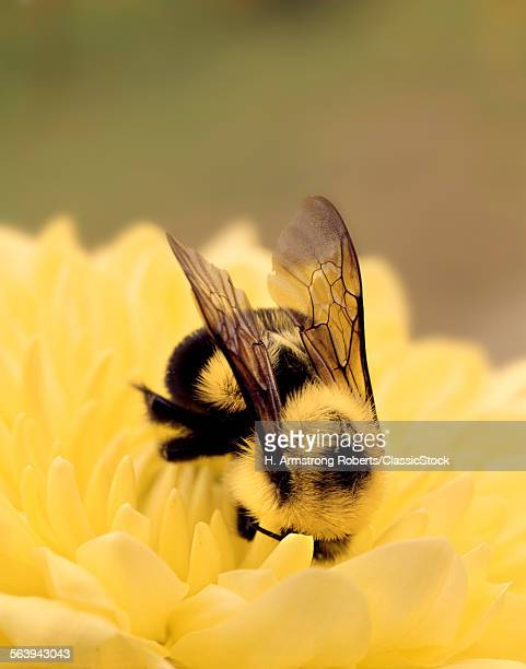 DETAIL OF BEE ON A YELLOW...