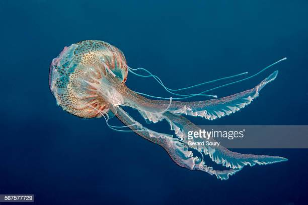 PURPLE-STRIPED JELLY FISH