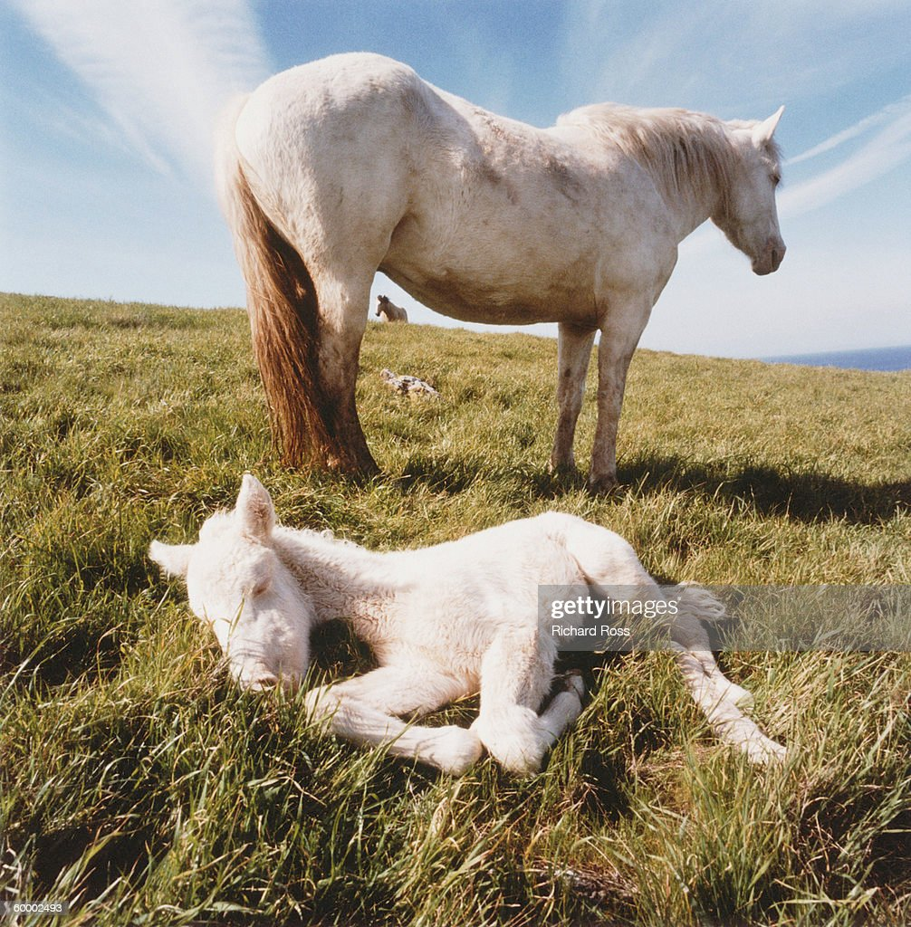 NEWBORN COLT WITH MARE STALLION IN BKGD, CHANNEL ISLANDS NATL. : Stock Photo