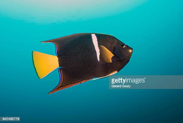KING ANGELFISH SWIMMING IN OPEN WATER