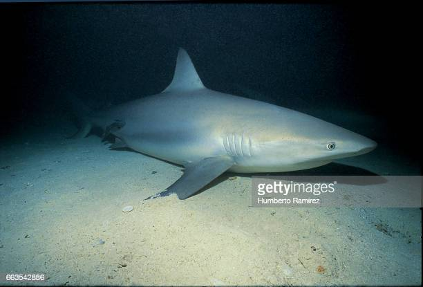 SLEEPING REEF SHARK