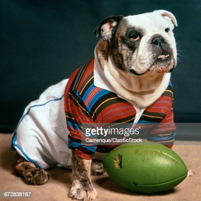 BULLDOG WEARING RUGBY...