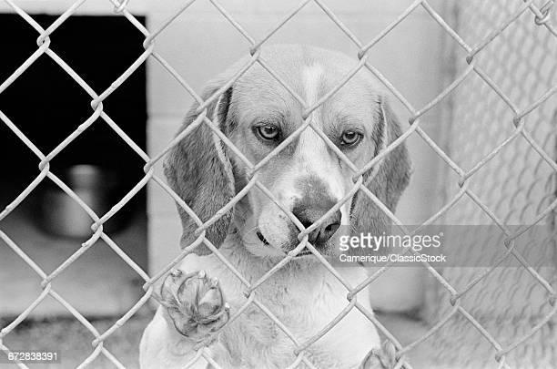 SAD BEAGLE DOG LOOKING...