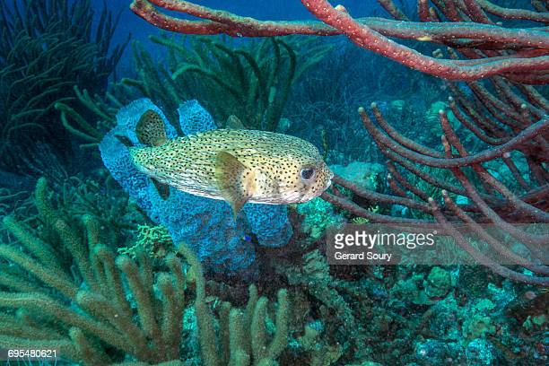 SPOTTED PORCUPINEFISH SWIMMING